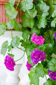 Fleurs de géranium rose permanent sur la balustrade blanche — Photo