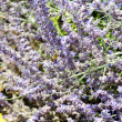 Lavender field with bees — Stock Photo #30340447