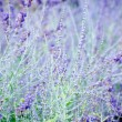 Intensive violet lavender flowers — Stock Photo