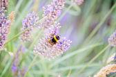 Bee pollinating lavender flowers — ストック写真