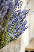 Violet dry lavender flowers — Stock Photo