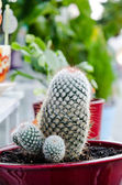Cactus growing in bright ceramic pot — Stock Photo