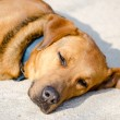 Stock Photo: Sleeping dog