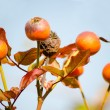 Rosehip berries — Stock Photo #40178881