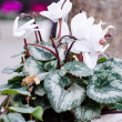 White primula — Stock Photo