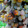 Wasps on Grapes — Stock Photo