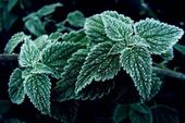 Nettle leaves with rime — Stock Photo