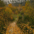 Trail of yellow leaves in autumn pine forest — Stock Photo #34367351