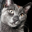 Grey cat with brown spot — Stock Photo
