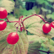 Red berries, viburnum — Stock Photo #34371477