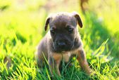 Little puppy sitting in the grass , afternoon — Stock Photo