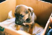 Little puppy in the box — Stock Photo