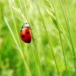 Ladybug on grass — Stock Photo #34440079