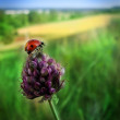 Ladybug on grass — Stock Photo #34440085