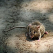 Little grey mouse — Stock Photo #34482659