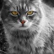 Grey cat. yellow eyes — Stock Photo #34521803