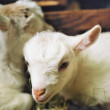 Two little goats — Stock Photo #34814599