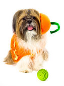 Dog in a Pumpkin Costume — Stock Photo