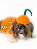 Pumpkin-Dressed Dog — Stock Photo