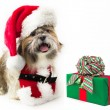 Doggy Santa with a Present - Stock Photo