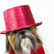 Dog in a Red Top Hat - Stock Photo
