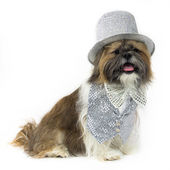 Dog in a Silver Party Outfit — Stock Photo