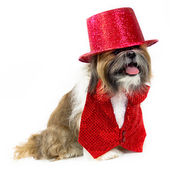 Dog in a Red Party Costume — Stock Photo