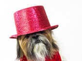 Dog in a Red Top Hat — Stock Photo