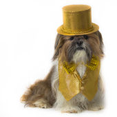 Shih Tzu in a Gold Fancy Costume — Stock Photo