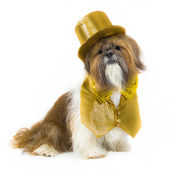 Dog in a Gold Party Outfit — Stock Photo