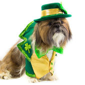 Shih Tzu Dressed for St. Patrick's Day — Stock Photo