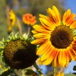 Sunflowers in Late Afternoon Sun — Stock Photo
