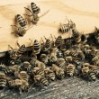 Stock Photo: Bees hive