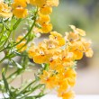 Beautiful garden flower Nemesia strumosa — Stock Photo