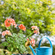 Blooming pink geraniums in blue pot and watering can - Stock Photo