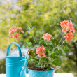 Blooming pink geraniums in blue pot and watering can — Stock Photo