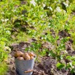 Stock Photo: First harvest of potatoes in garden