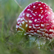 Young fly agaric fruit body outside on a meadow — Stock Photo