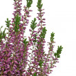 Purple Heather (Calluna vulgaris) flowers — Stok fotoğraf
