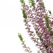Purple Heather (Calluna vulgaris) flowers — Stock Photo