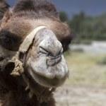 Camel portrait, Ladakh, India — Stock Photo #15610251