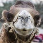 Camel portrait, Ladakh, India — Stock Photo