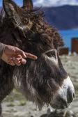 Donkey at lake Pangong in Ladakh, India — Stock Photo