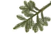 Wollemia nobilis tree twig on white background — Stock Photo