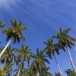 King palm trees on the caribbean island of Cuba — Stock Photo