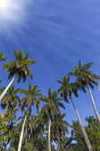 King palm trees on the caribbean island of Cuba — Stock fotografie