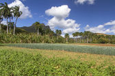 çiçekli onionfield — Stok fotoğraf