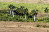 Farming under palmtrees on Cuba — Stock Photo