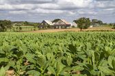 Tobacco plantation on Cuba — Stock Photo