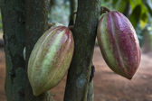 Cocoa pods hanging on a tree — Stock Photo